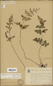 Planche d'herbier numérisée du Musée National d'histoire naturelle